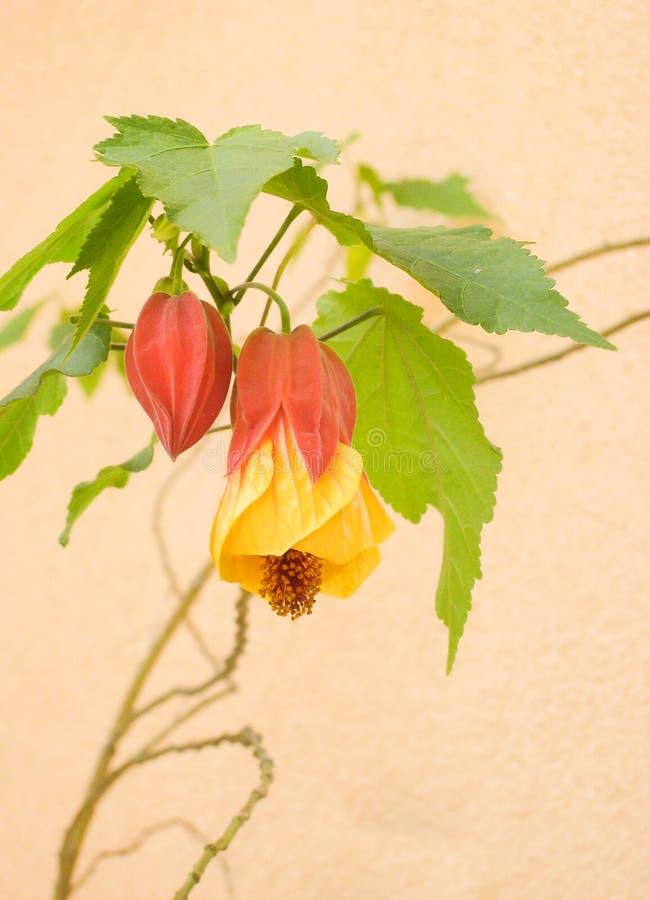 Chinesische Laterne Anlagen-, Physalis alkekengi und rote Hülsen-und Gelbe und Roteblume mit weichem Pfirsich-Hintergrund lizenzfreie stockfotos