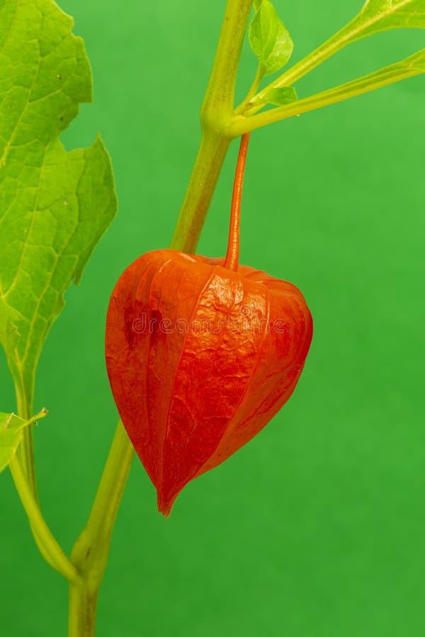 Chinesische Laternenblume lizenzfreies stockfoto