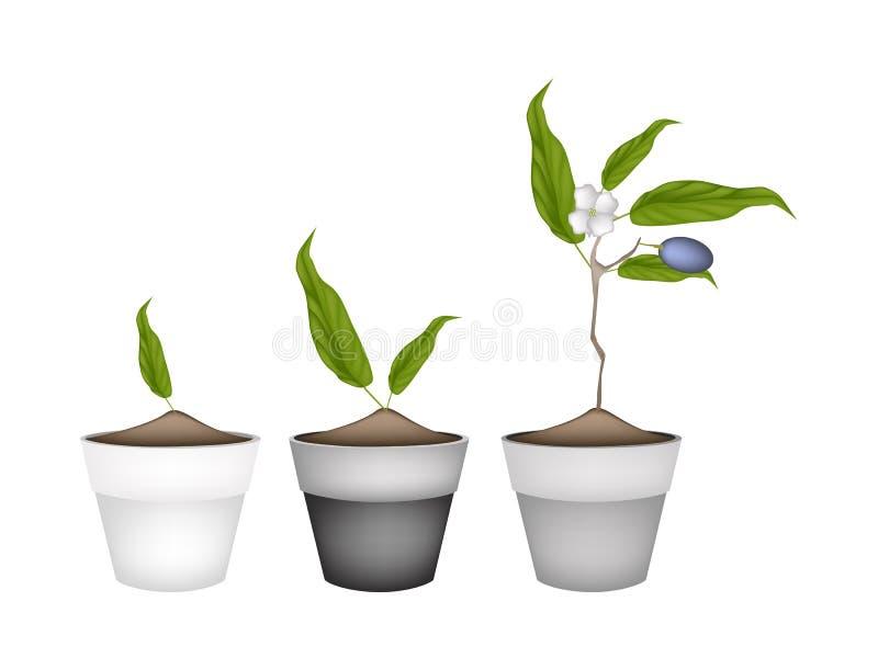 Chinesische Oliven-Anlagen in den keramischen Blumen-Töpfen vektor abbildung