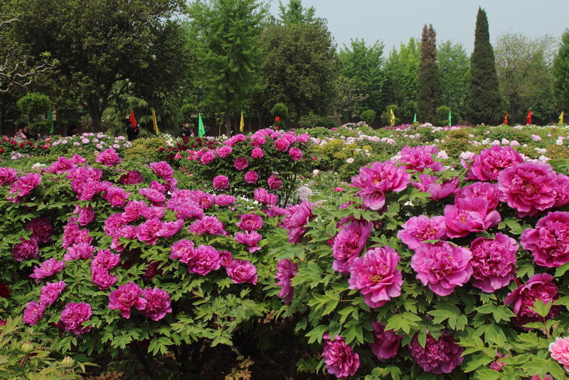 Chinesische Pfingstrosenblume stockfotos