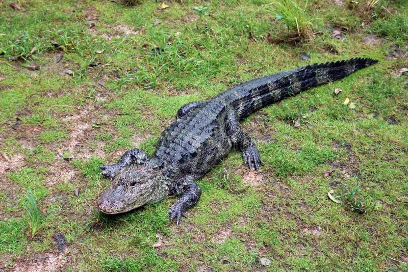 Chinesischer Alligator stockfotografie