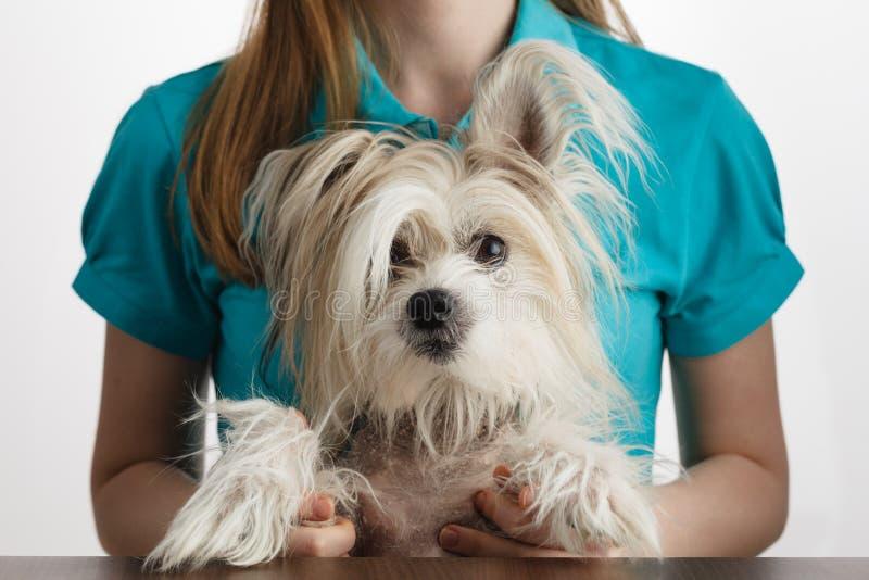 Chinesischer Hund des Mädchengriffs mit Haube in den Händen stockfotos
