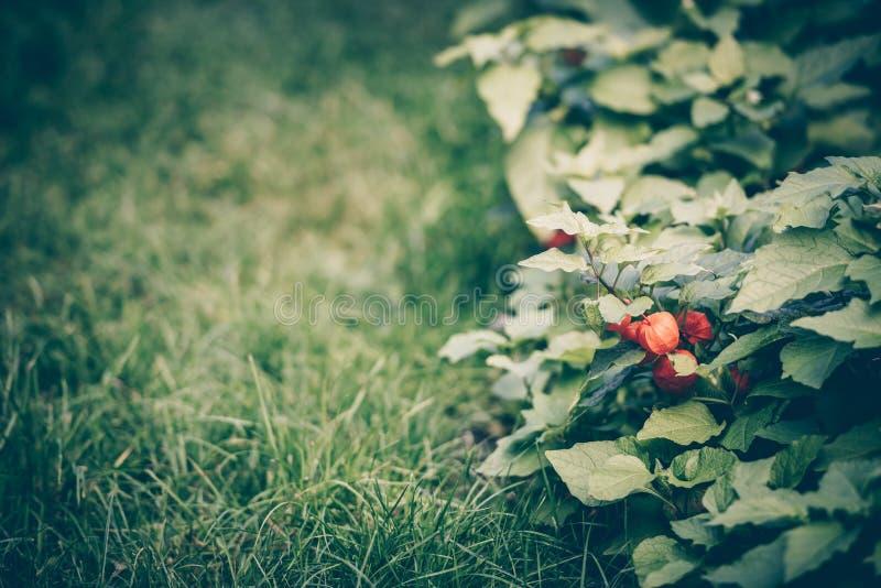 Chinesischer Laternenblume Physalis im Garten stockfoto
