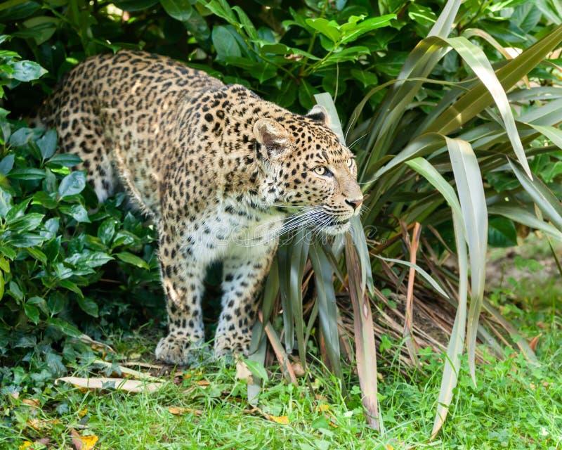 Chinesischer Nordleopard, Der Durch Bush Sich Anpirscht Lizenzfreies Stockbild