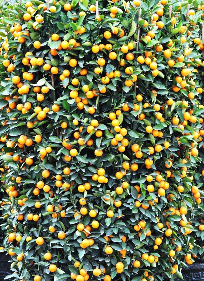 Chinesischer Orangenbaum des neuen Jahres lizenzfreies stockfoto