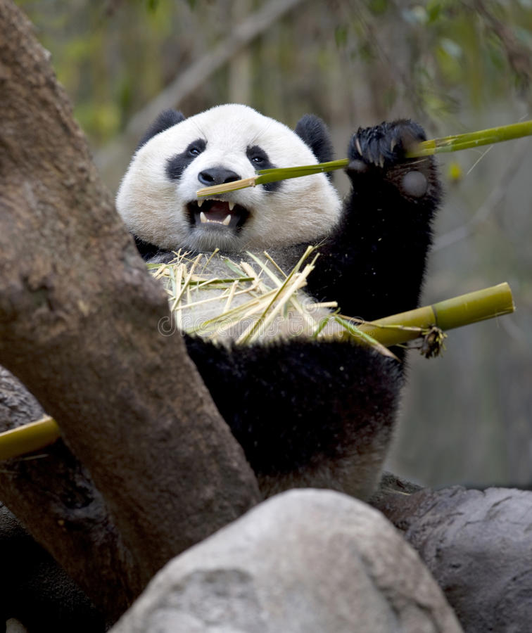 Chinesischer Pandabär, der Bambus, Porzellan isst stockfoto