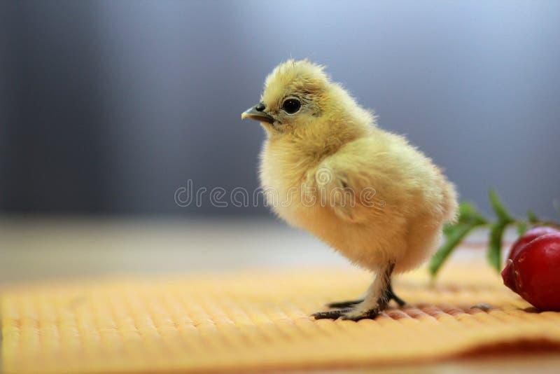 Chinesischer silk Hühnerbauernhof lizenzfreie stockfotografie