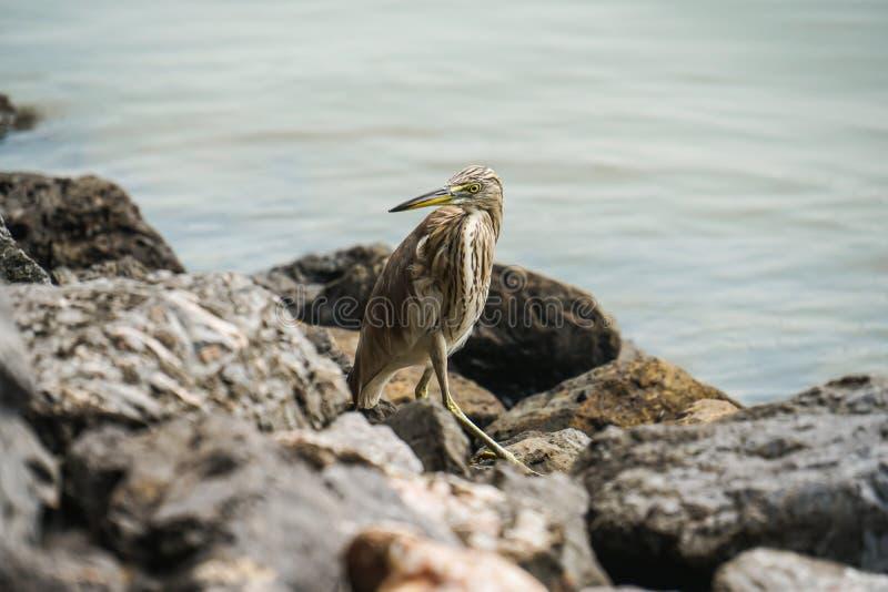 Chinesischer Teichreihervogel suchen nach Nahrung durch Fluss stockfoto