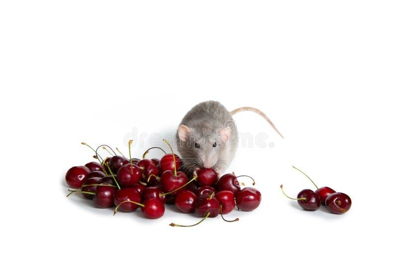 Chinesisches neues Jahr Bezaubernde dambo Ratte auf einem wei?en lokalisierten Hintergrund isst eine s??e Kirsche Nettes Haustier lizenzfreie stockfotos