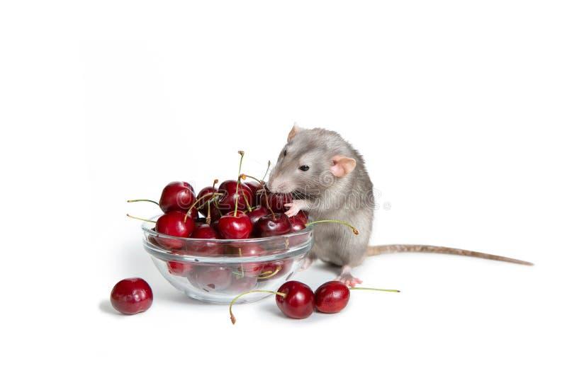 Chinesisches neues Jahr Bezaubernde dambo Ratte auf einem wei?en lokalisierten Hintergrund isst eine s??e Kirsche Nettes Haustier lizenzfreie stockfotografie