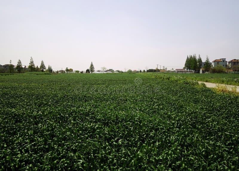Chinesisches Süddorf und grünes Reisfeld stockbild