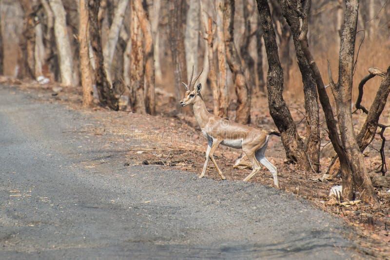 Chinkara Indische Gazelle royalty-vrije stock foto