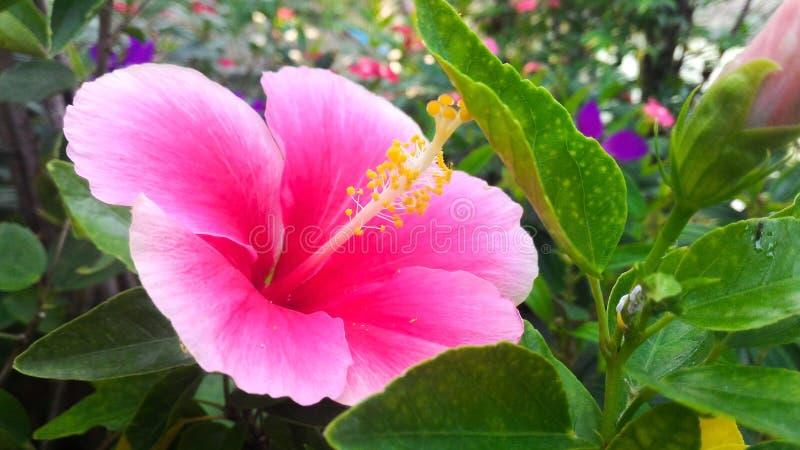 Chino Rose Flower del rosa y blanco imagen de archivo libre de regalías