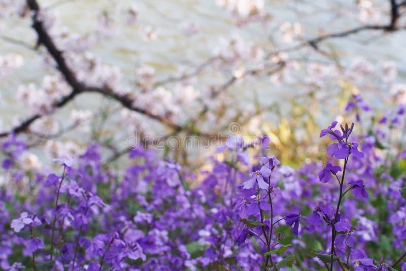 Chino Violet Cress o violace de Orychophragmus de la orquídea de febrero fotos de archivo
