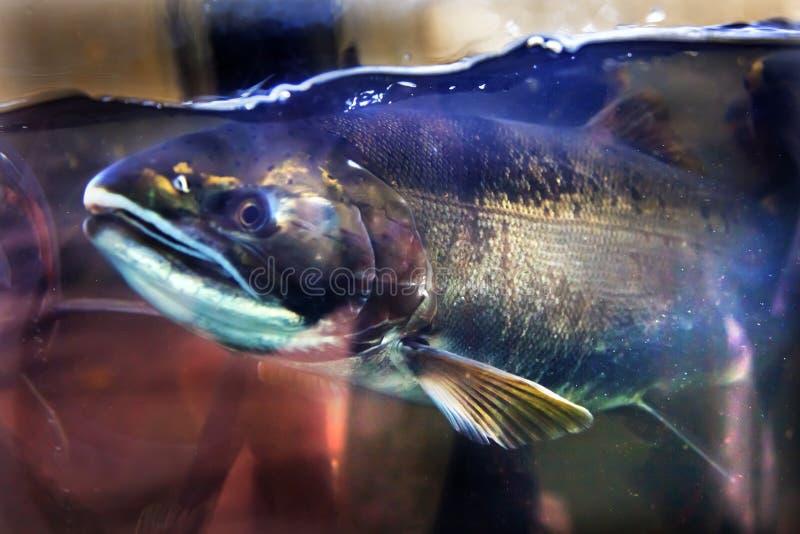 Chinook Coho łososia zakończenie W górę Issaquah wylęgarni stan washington obrazy stock