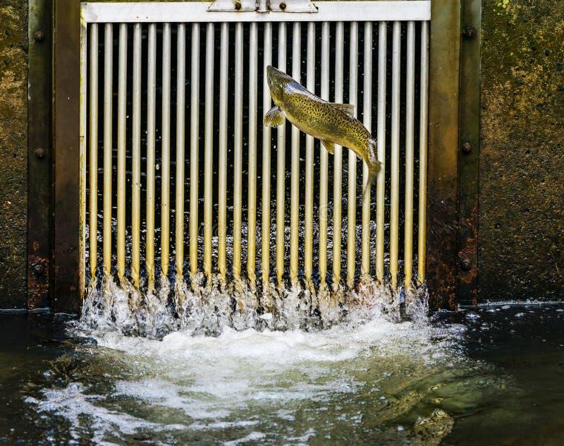 Chinook Salmon Jumping Entrance Issaquah Hatchery Washington Sta foto de archivo libre de regalías