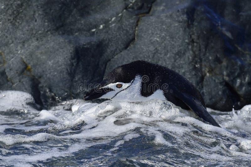 Chinstarppinguïn in het water royalty-vrije stock fotografie