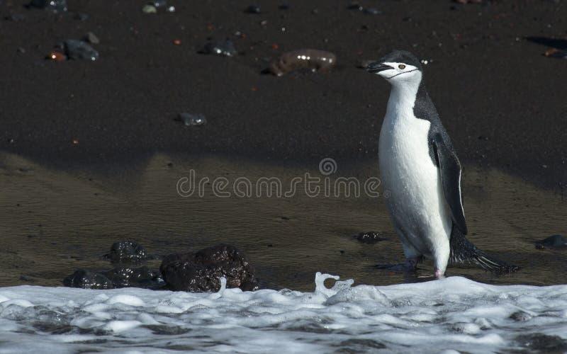 Chinstarppinguïn in het water stock fotografie
