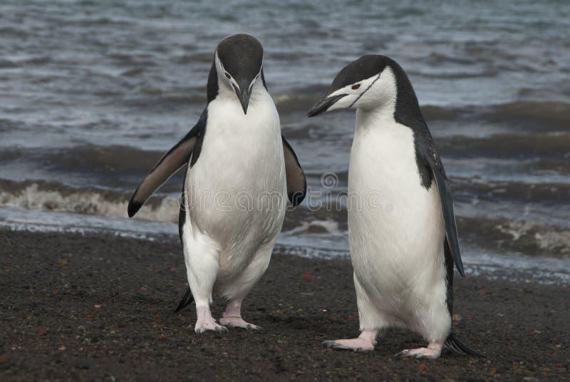 Chinstrap企鹅在Anatcrtica 免版税库存图片