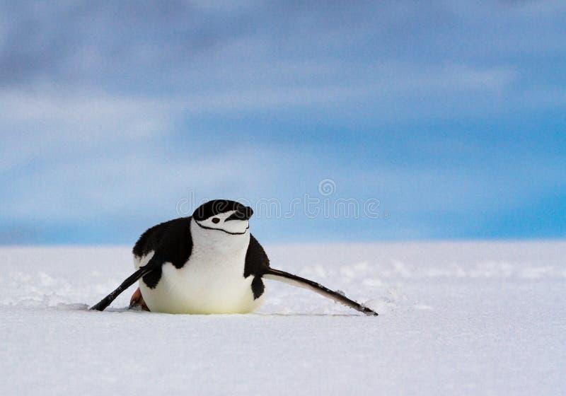 Chinstrap企鹅滑在白色雪反对蓝天,南极洲的Pygoscelis antarcticus 库存照片