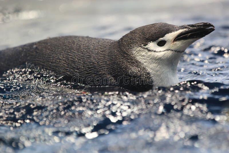 Chinstrap企鹅 库存照片