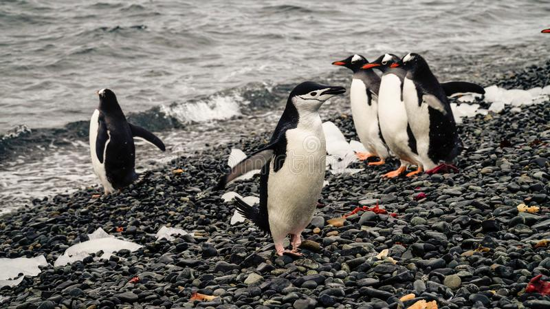 Chinstrap and Gentoo Penguins coming out of the ocean on Deception island in Antarctica.  stock photography