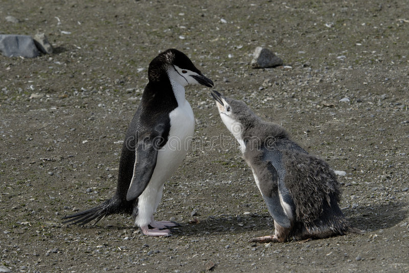 Chinstrap Penguin. Feeds the chick Antarctica 2007 royalty free stock photo