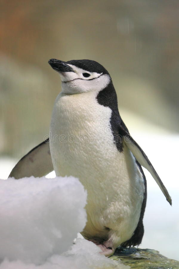 Chinstrap penguin. The chinstrap penguin standing on the snow stock photos