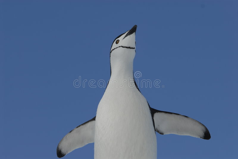 Chinstrap Penguin. In Antarctica 2007 royalty free stock photography
