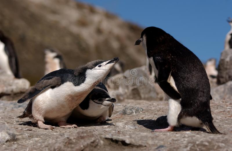 Download Chinstrap Penguin stock photo. Image of closeup, look - 7032266