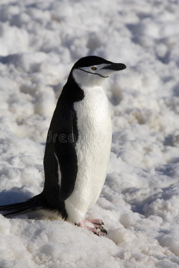Chinstrap Penguin - Antarctica stock photography