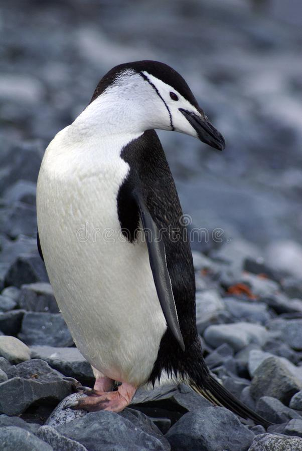 Chinstrap penguin in Antarctica. Chinstrap penguin standing on rocks in Antarctica royalty free stock image
