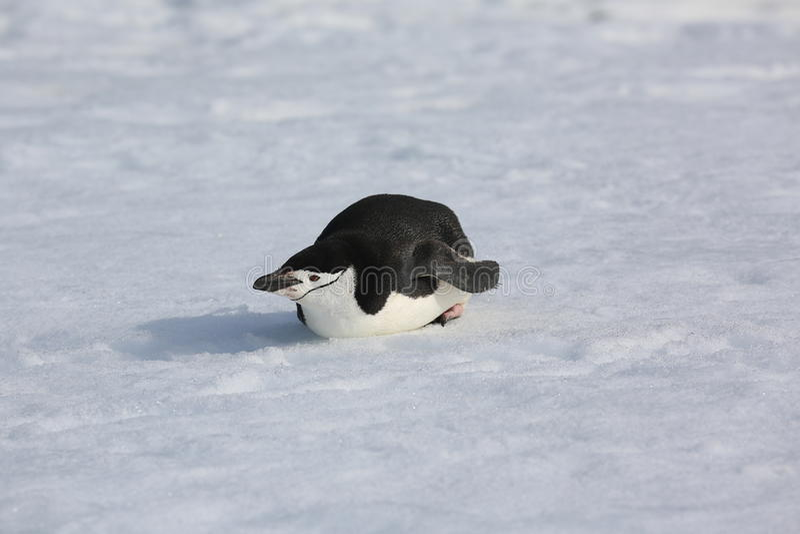 Download Chinstrap Penguin In Antarctica Stock Photo - Image: 34940220