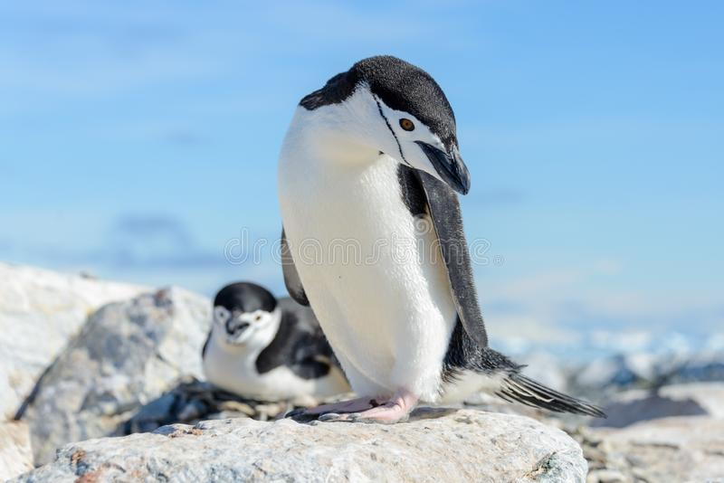 Chinstrap penguin on the beach in Antarctica. Close up royalty free stock images