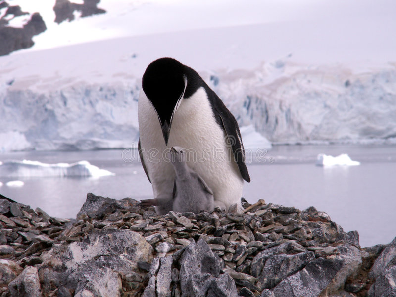 Chinstrap penguin with chick stock photos
