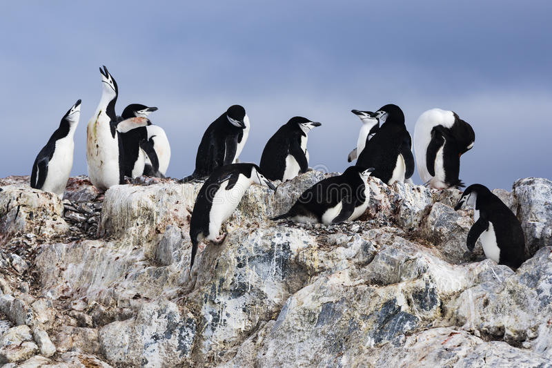A Chinstrap Penguin Colony with rocks. At Orne Island, Antarctica stock photos