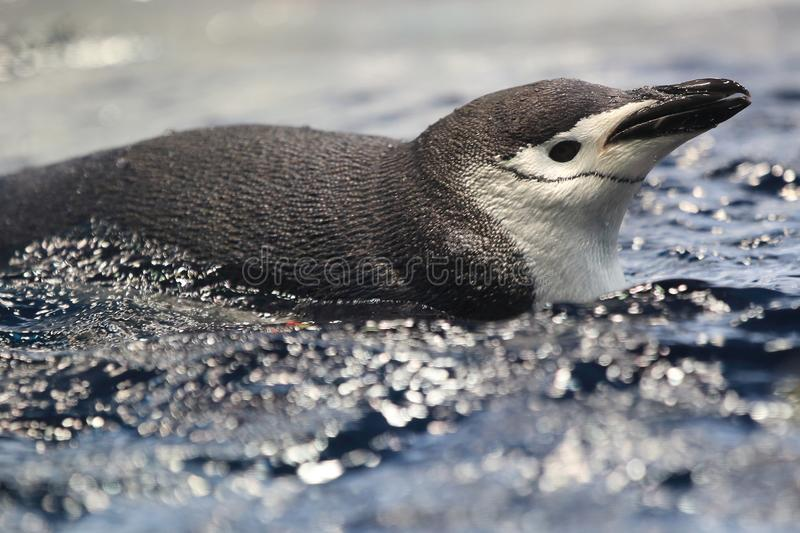 Chinstrap penguin. Floating in water stock photo