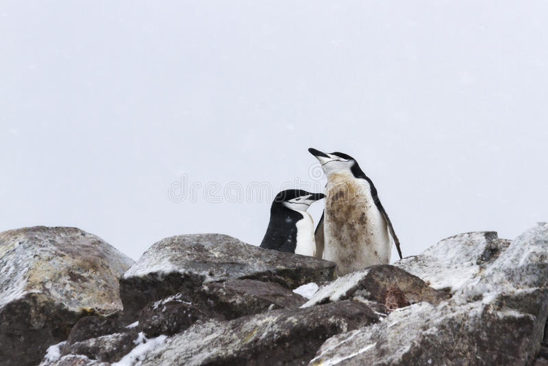 Chinstrap penguin mating pair royalty free stock photo