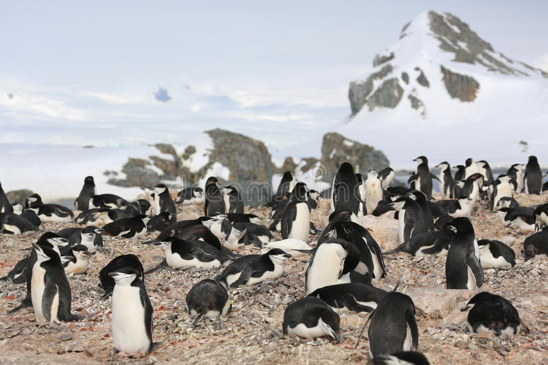 Download Chinstrap Penguin Rookery In Antarctica Stock Photo - Image: 34963496
