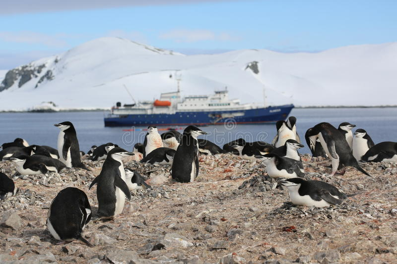 Chinstrap penguin rookery in Antarctica. Chinstrap penguin rookery (Pygoscelis antarctica) with a cruise ship in the background in Antarctica stock images