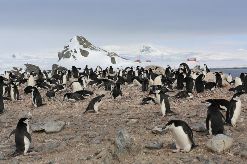 Chinstrap penguin rookery in Antarctica. Chinstrap penguin rookery (Pygoscelis antarctica) with research station in the background in Antarctica royalty free stock image