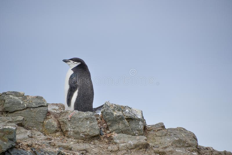 Chinstrap penguin standing on the hillside. Black and white chinstrap penguin standing on a rocky hillside in Antarctica during the Summer season royalty free stock photo