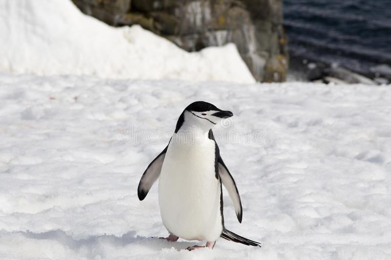 Download Chinstrap Penguin Stock Images - Image: 33472794