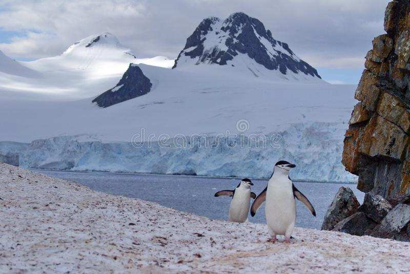Chinstrap penguin walking on snow in Antarctica. Chinstrap penguin walking over a hill of snow in Antarctica with a glacier in the background royalty free stock photo