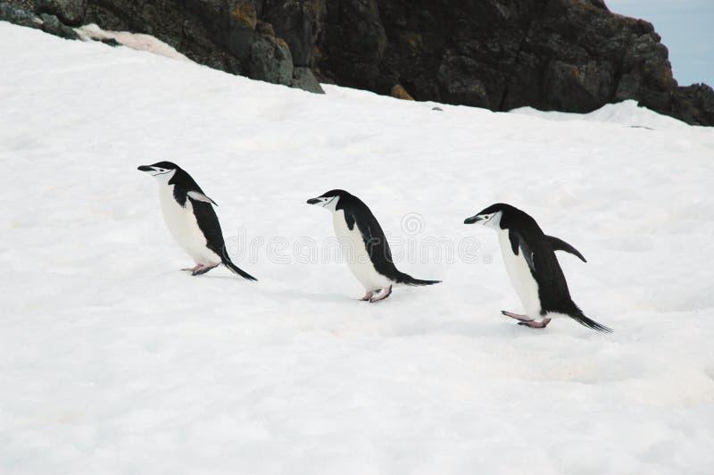 Chinstrap penguins. Three chinstrap penguins walking on Half Moon Island, Antarctica stock photography