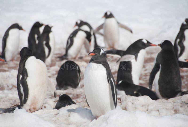 Download Chinstrap penguins stock photo. Image of animal, flock - 26730896