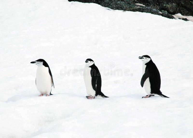 Chinstrap penguins. Three chinstrap penguins sitting on Half Moon Island, Antarctica royalty free stock photos