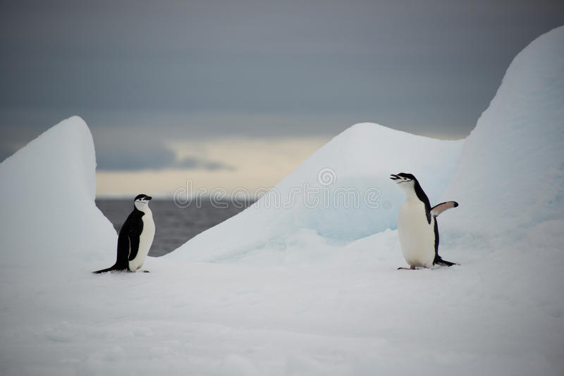 Chinstrap penguins on ice, Antarctica stock images