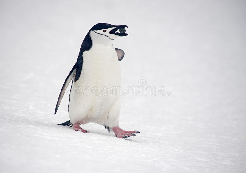 Chinstrap penguins marching, Anarctica royalty free stock photography