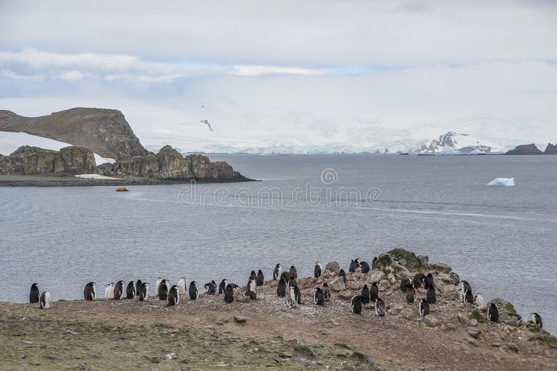 Chinstrap penguins standing on an rocky terrain in Antarctica. Chinstrap penguins standing and communicating with one another, during a cloudy dat on an island stock images